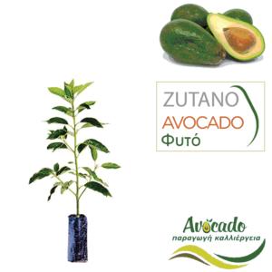 Φυτό Αβοκάντο Zoutano τιμή χονδρικής φυτωρίου